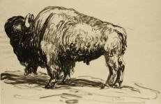 Büffel / Bison Erich Fraaß